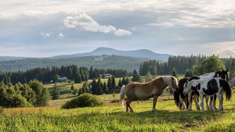 Koně na Šumavě